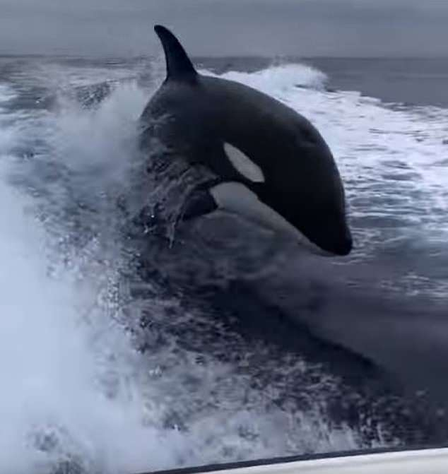 A group of fishermen experienced quite a scare when three orcas started chasing their boat off the coast of Southern California, leaping up out of the surf just a few feet behind the vessel