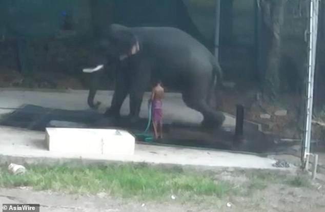 Arun Panikkar, 40, was caning the elephant's side to get it to lie down, and whipped it so hard he lost his balance and fell underneath the animal as it sat down in Kerala, southern India