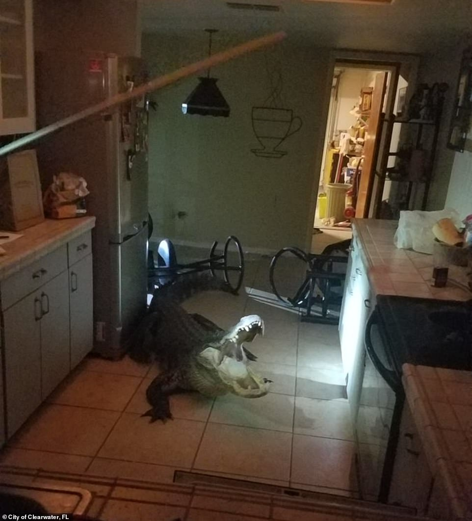 A homeowner in Clearwater, Florida, woke up to noises at 3am and found a gigantic alligator in her kitchen
