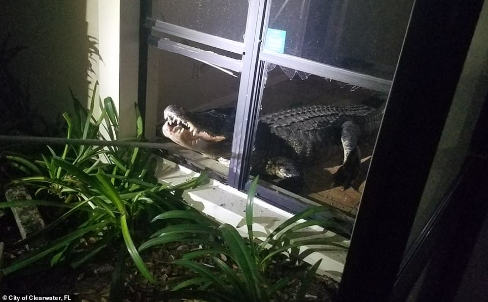 The gator had apparently smashed its way through a ground-level window to break into the house